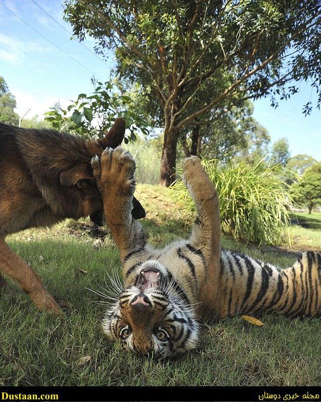 تصاویری جالب و دیدنی از دوستی ببر و سگ!