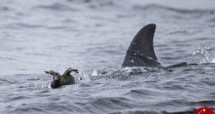 بازی نهنگ با لاکپشت قبل از شکارش! +فیلم