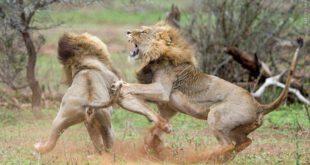 فیلم: درگیری شدید سلطان جنگل با پلنگ