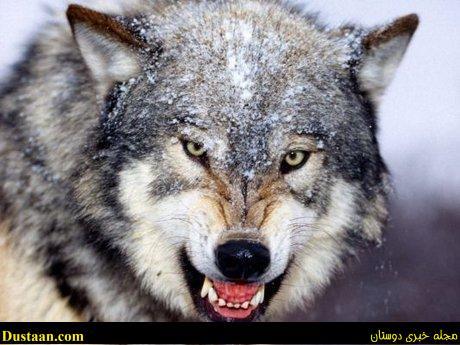 www.dustaan.com خرید و فروش «گرگ» در اینترنت!