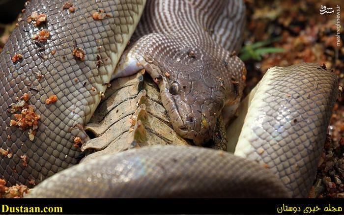 www.dustaan.com تصاویری دیدنی از بلعیدن تمساح توسط مار