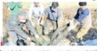 کشف جسد کبود شده یک سارق در شالیزار