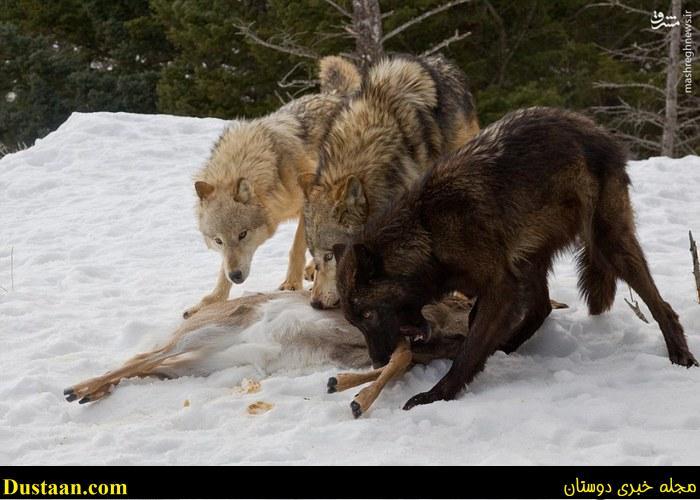 پیروزی خرس گرسنه در نبرد با گله گرگ ها +تصاویر