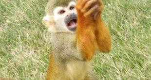 عکس: التماس عجیب میمون گرسنه به یک توریست سوژه شد!