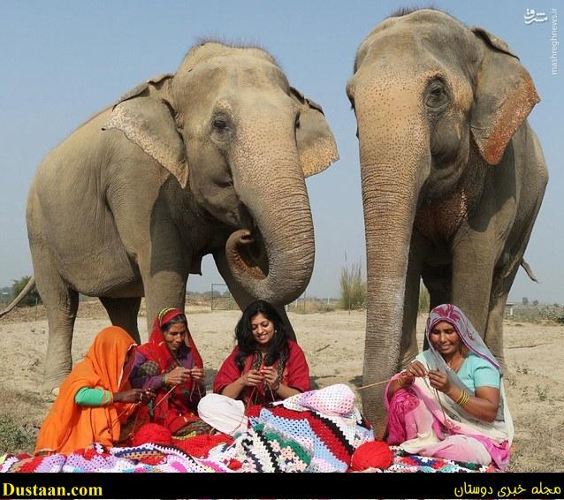 تصاویری جالب از بافتن لباس زمستانی برای فیل ها