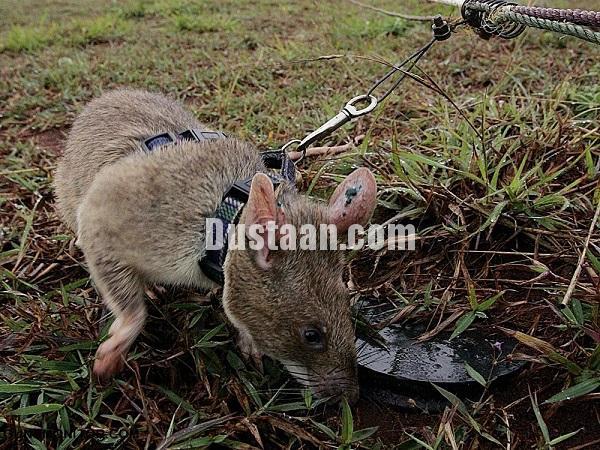 تصاویر: از سگ های ضد تانک تا خوک های ضد فیل!