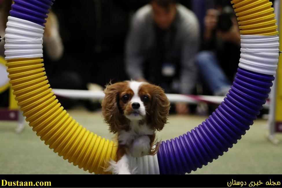 عکس سگ زینتی