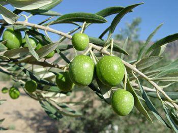 www.dustaan.com با خواص درمانی و معجزه اسای زیتون بیشتر اشنا شوید