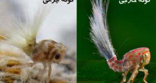 تصویری عجیب از حشره تازه کشف شده در امریکا و ایران!