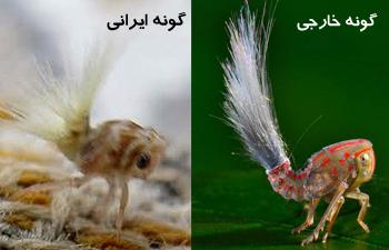 www.dustaan.com تصویری عجیب از حشره تازه کشف شده در امریکا و ایران!