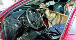 سگهای مواد یاب را بیشتر بشناسیم + عکس