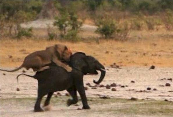 www.dustaan.com تصاویری از شکار یک بچه فیل توسط سلطان جنگل!!