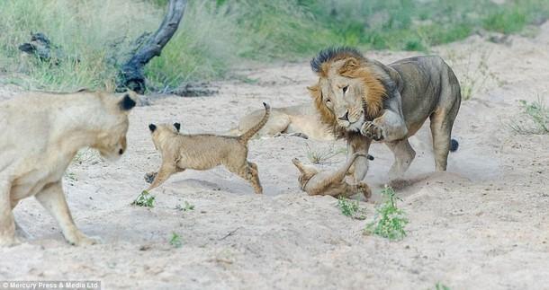 www.dustaan.com تصاویری از سرانجام بازی خشن سلطان جنگل با توله شیرها !