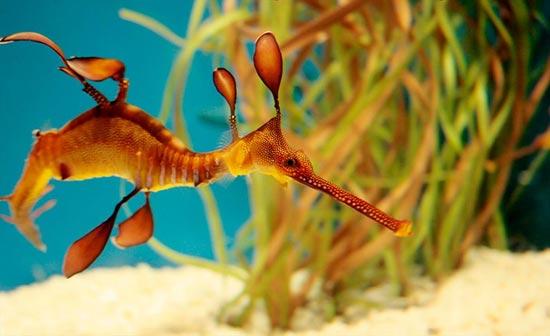 www.dustaan.com تصاویری از اژدهای دریا! «فیلوپتریکس»