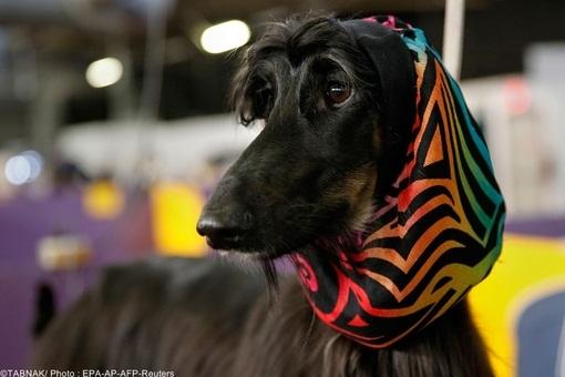 www.dustaan.com تصاویری از مسابقه بهترین سگها در  امریکا