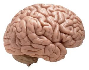 www.dustaan.com کدامیک مغز بزرگتری دارند؟ مردان یا زنان؟!