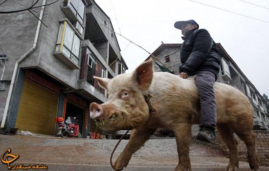 www.dustaan.com تصاویری بسیار جالب از سواری گرفتن از یک خوک!