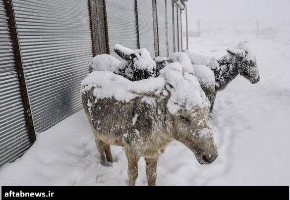 www.dustaan.com تصاویر/ الاغهایی که از شدت سرما یخ زدند!