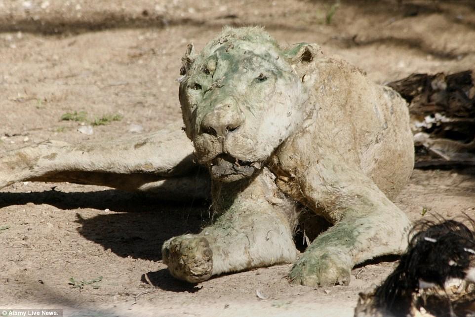 www.dustaan.com تصاویر/ اوضاع وحشتناک حیوانات در باغ وحش غزه!