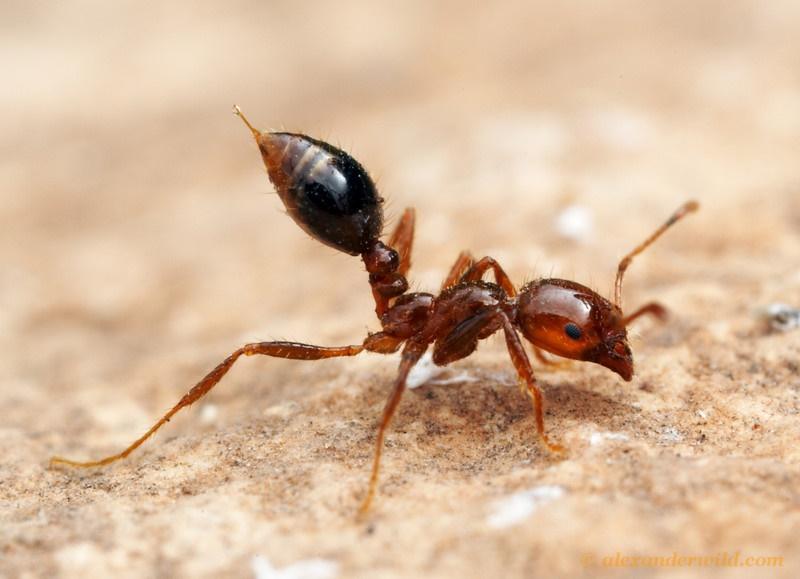 www.dustaan.com عکس/ ژست عصبانی یک مورچه از نمای نزدیک!
