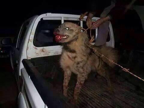 www.dustaan.com تصاویر/ استفاده داعش از شیر و کفتار برای ایجاو رعب و وحشت در عراق