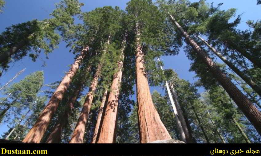 بزرگترین درخت دنیا۱
