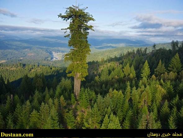 بزرگترین درخت دنیا۲