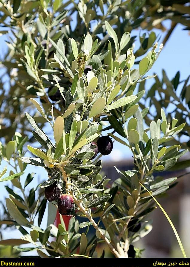 www.dustaan.com تصاویر: درخت ۸۰۰ ساله ای که میوه داد!
