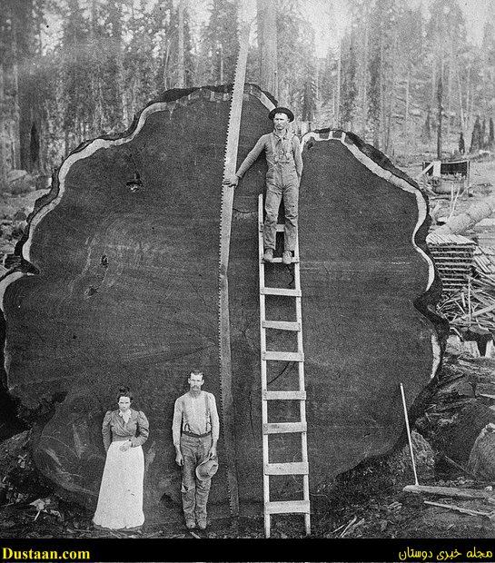 تصویری جالب از یک درخت غول پیکر