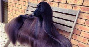 تصاویری جالب از زیباترین سگ دنیا