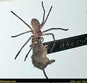 www.dustaan.com فیلم : شکار باورنکردنی این عنکبوت میلیونها نفر را شگفت زده کرد!