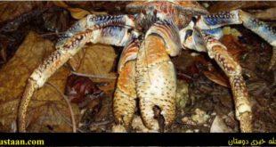 خرچنگی که همانند یک شیر پُر زور است! +تصاویر