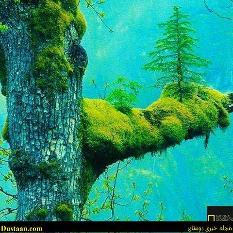 www.dustaan.com عکس: رشد درخت بر روی درخت دیگر!