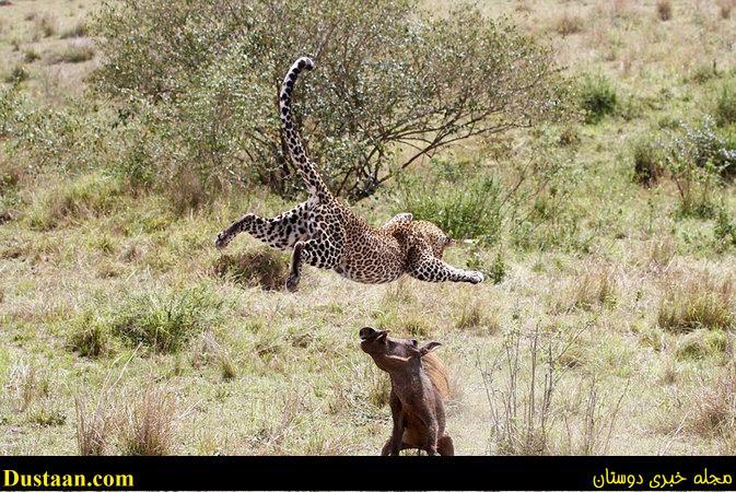 www.dustaan.com حمله ناگهانی گراز به پلنگ باردار +تصاویر