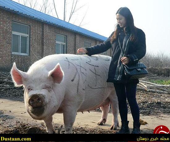 تصاویری جالب از شاه خوک چین!