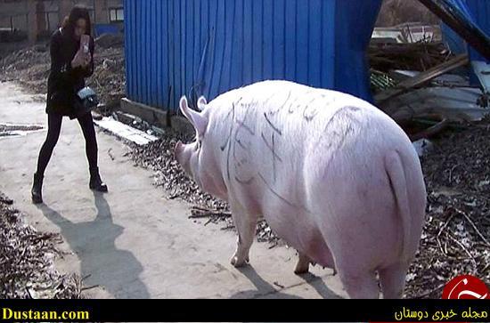 www.dustaan.com تصاویری جالب از شاه خوک چین!