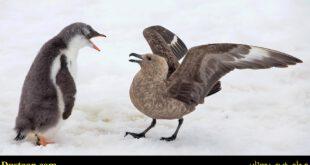اخبارگوناگون,خبرهای گوناگون,دفاع بچه پنگوئن