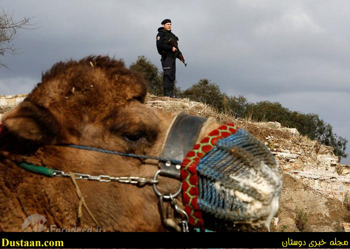 تصاویری جالب از کُشتی شترها در ترکیه!