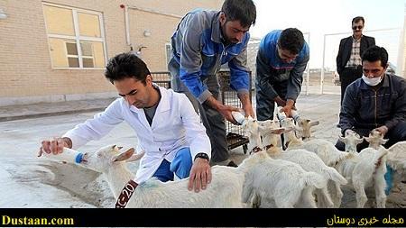 درآمد 8 میلیونی با 10 بز / اشتغالزایی با شیر بز سانن