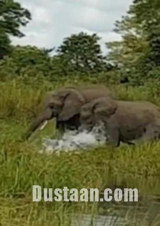 www.dustaan.com یورش غیرمنتظره کروکودیل به گله فیل ها +تصاویر