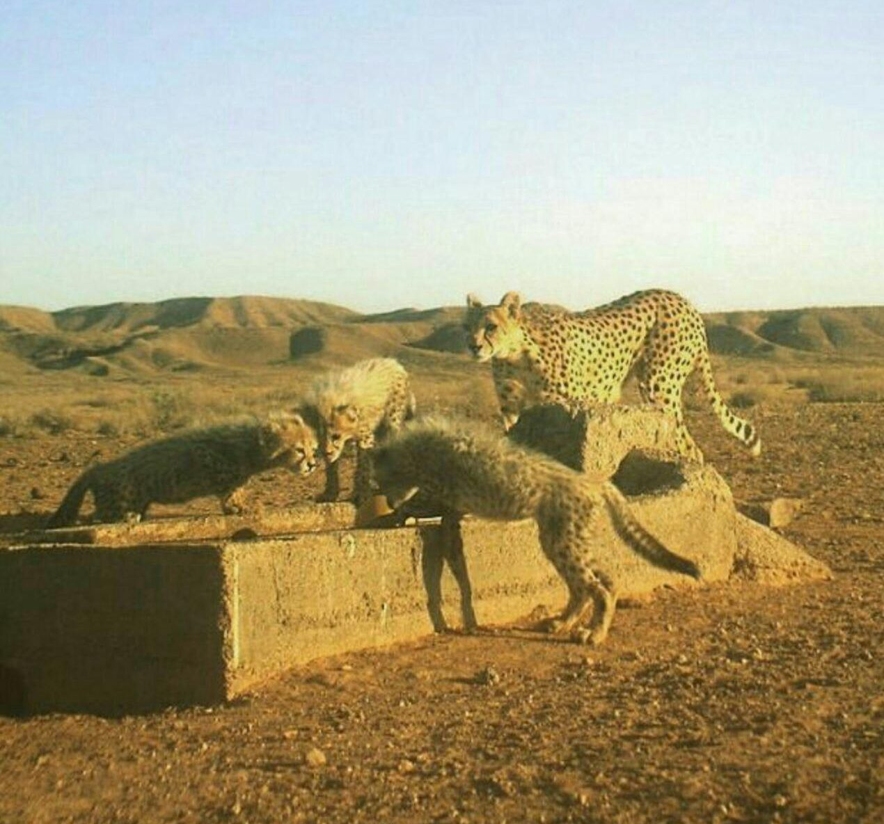 www.dustaan.com مشاهده چهار قلاده یوزپلنگ در خراسان شمالی +عکس
