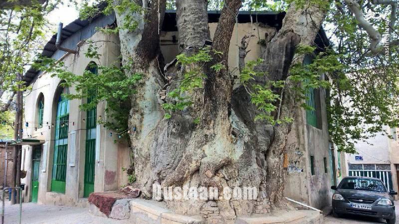 www.dustaan.com تصویری جالب از درخت 1500 ساله در قم