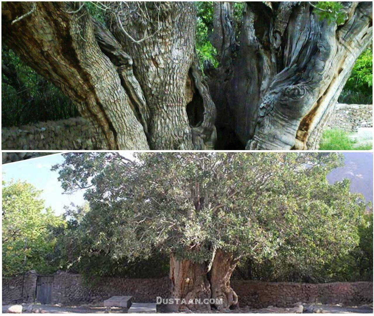 www.dustaan.com قدیمی ترین درخت پسته جهان در رفسنجان +عکس