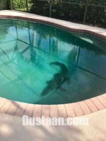 www.dustaan.com ورود تمساح 2 متری به استخر خانه، اعضای یک خانواده را وحشت زده کرد! +تصاویر