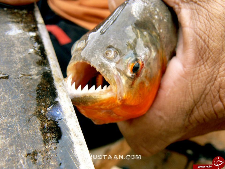 www.dustaan.com حمله خونین ماهی های گوشتخوار به گردشگران در برزیل! +تصاویر
