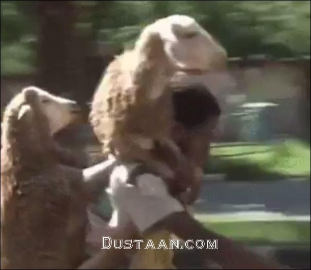 www.dustaan.com روش بسیار عجیب برای حمل گوسفند! +عکس و فیلم