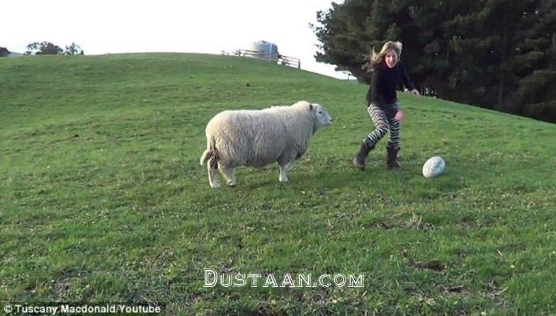 www.dustaan.com تنها گوسفندی که می تواند فوتبال بازی کند! +تصاویر
