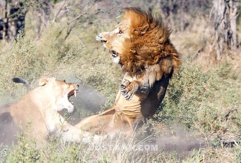 www.dustaan.com حمله گروهی شیرهای ماده به سلطان جنگل! +تصاویر