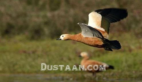 www.dustaan.com اُردکی که رکورد جهان را شکست! +عکس
