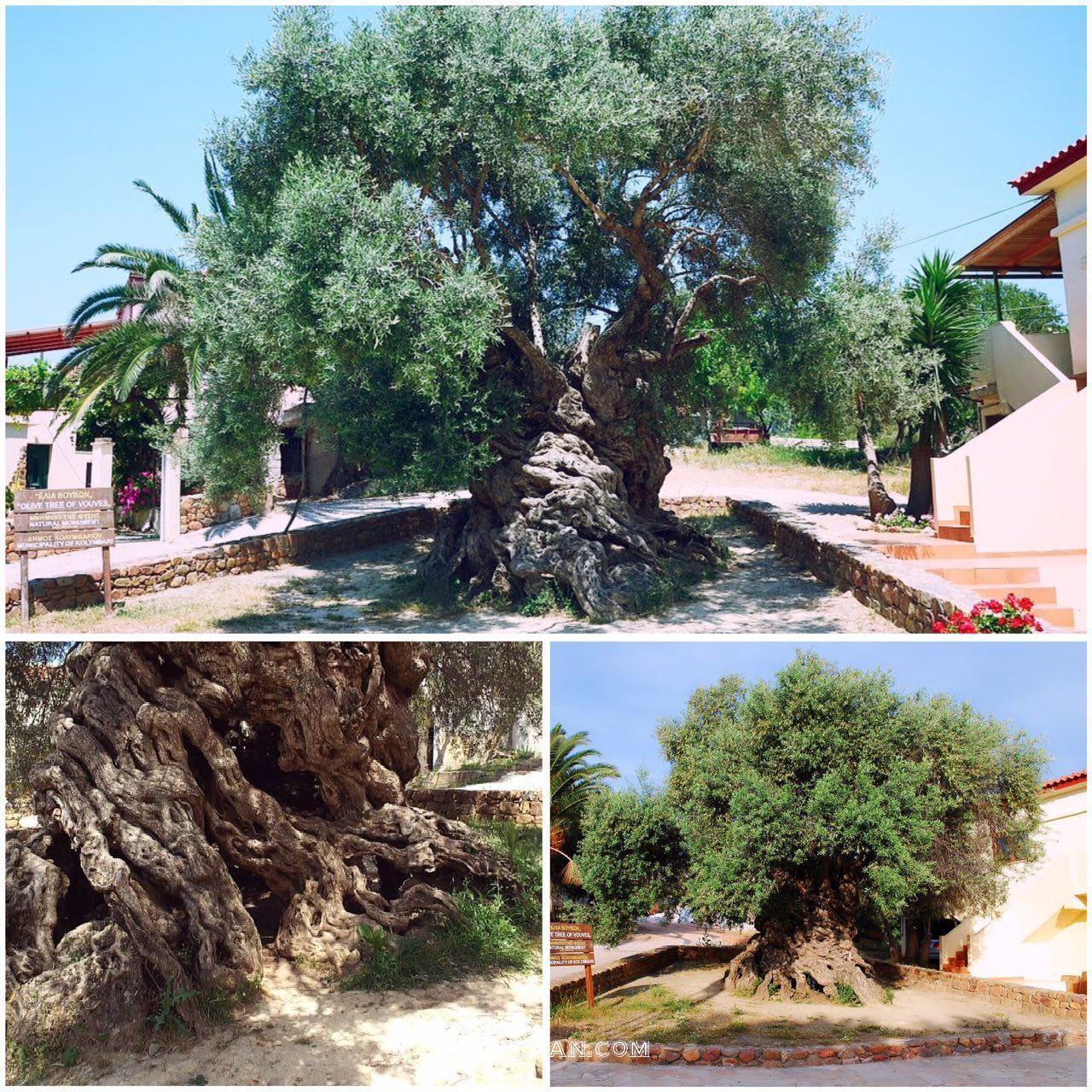 www.dustaan.com درخت 2 هزار ساله ای که میوه می دهد! +عکس